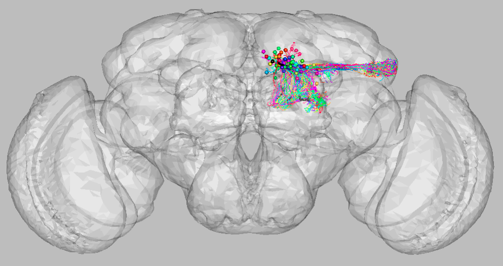 3D representation of neuron cluster